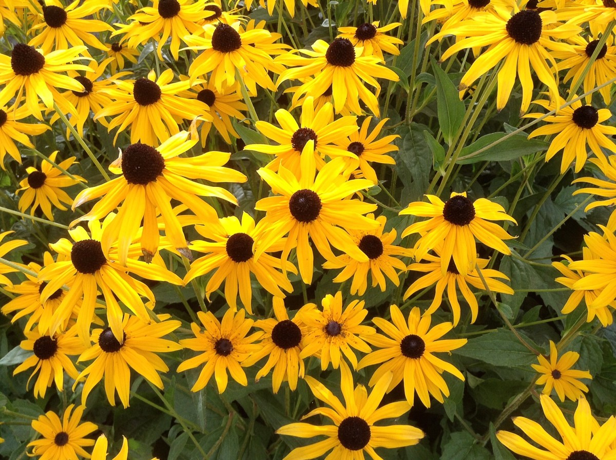 Black-Eyed Susan flowers in the Italian Gardens