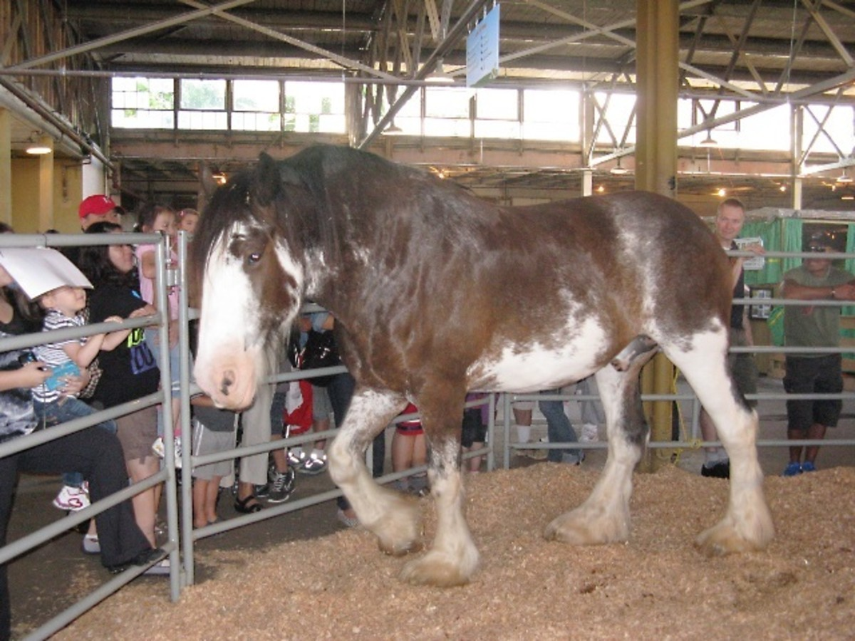This young Clydesdale was at the fair for two years in a row and loved interacting with people.
