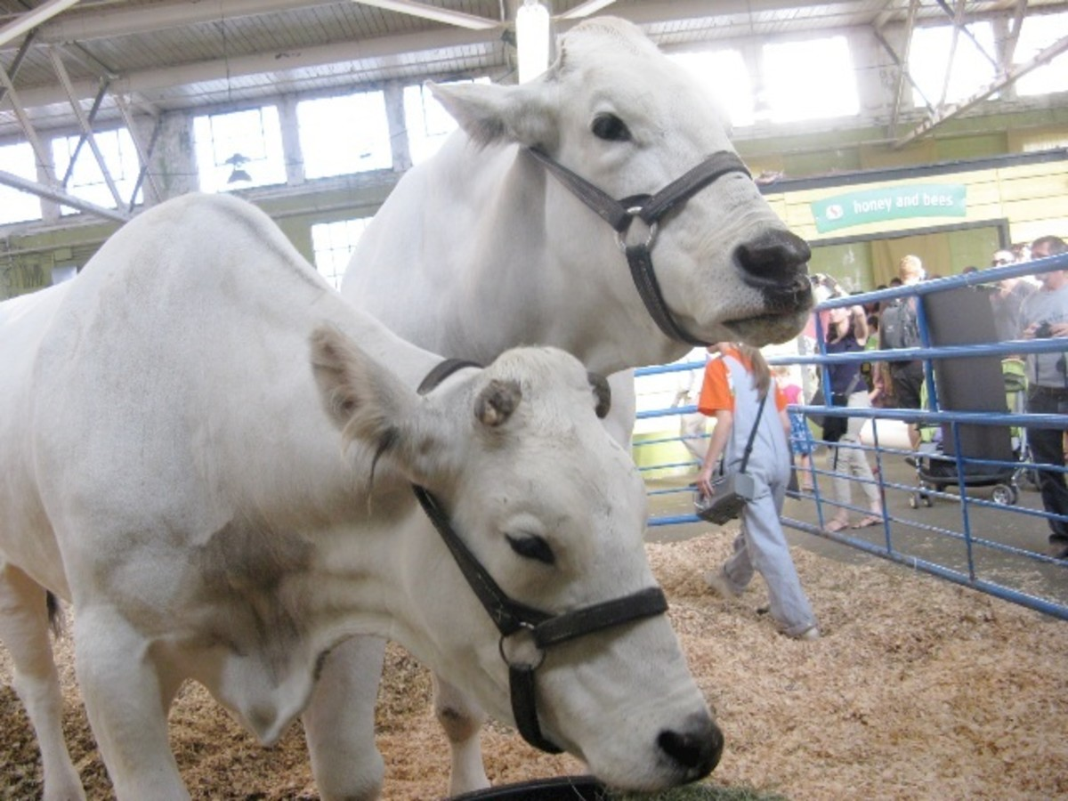 Zeldo and Zorro, two Chianina Oxen weighing about 3,000 pounds each