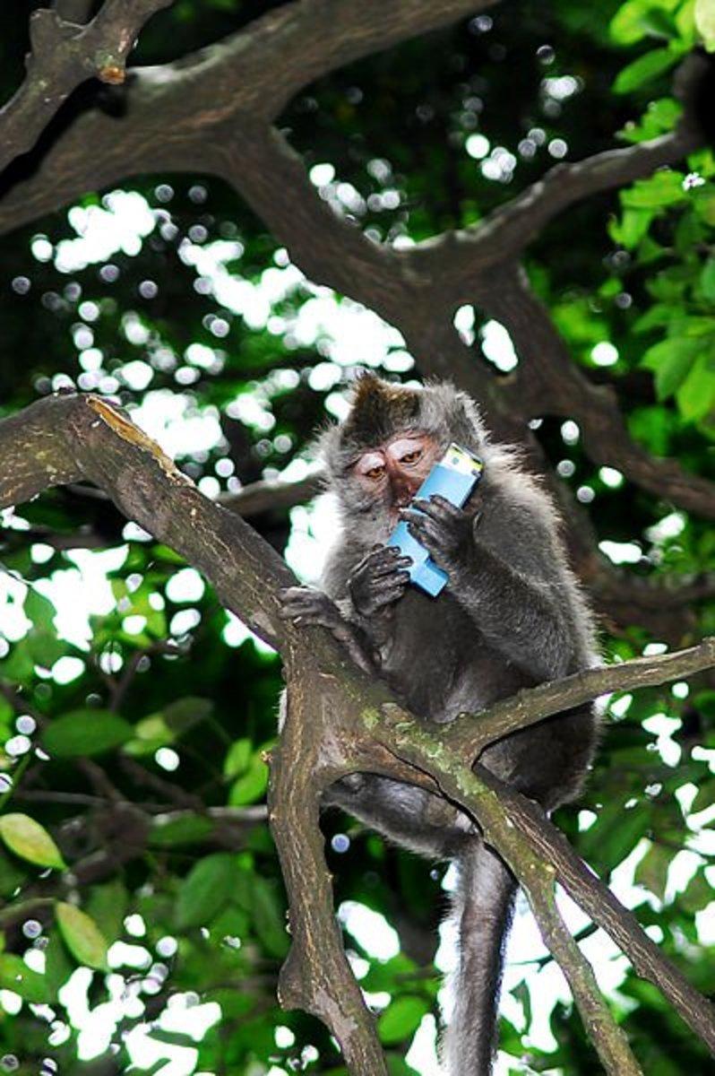 A mischievous macaque with a stolen asthma inhaler