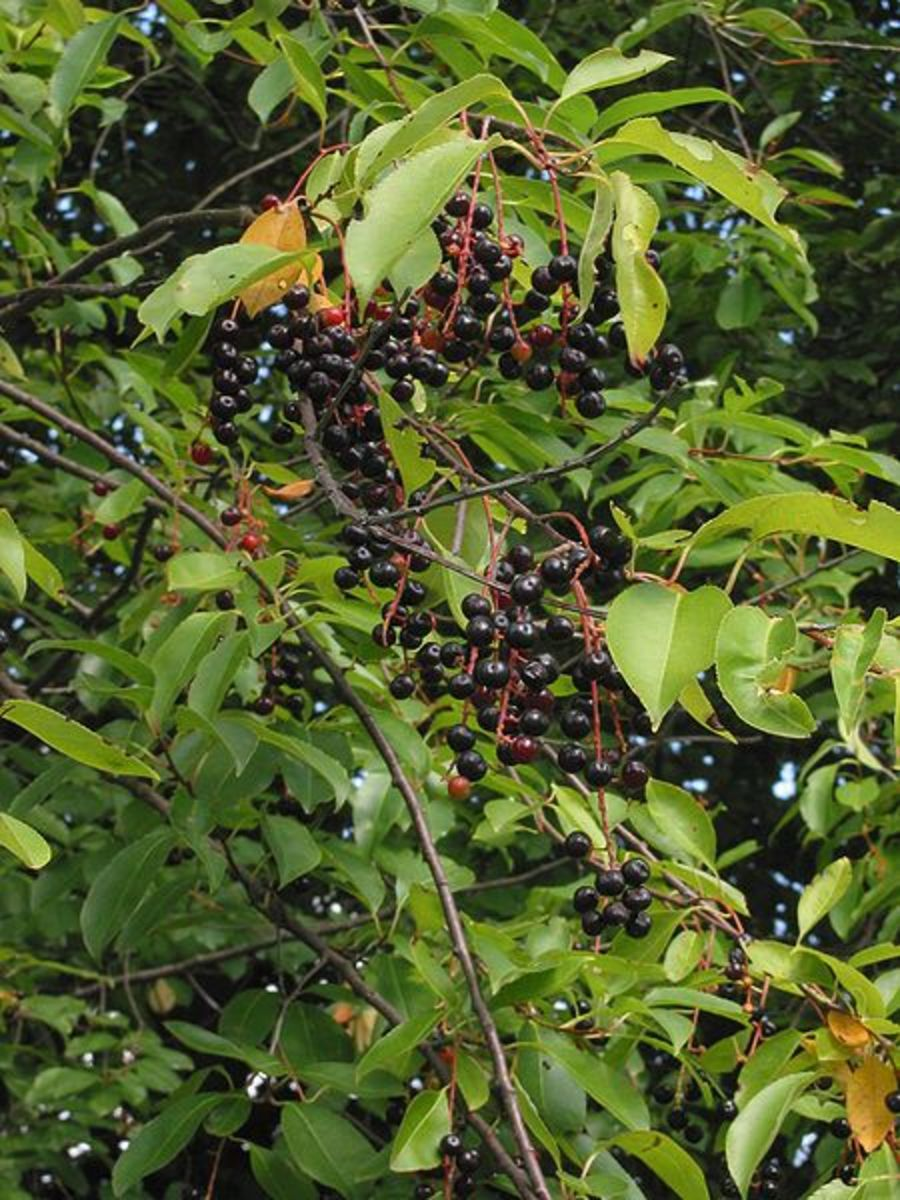Cherry Springs State Park was named after its wild cherry trees.