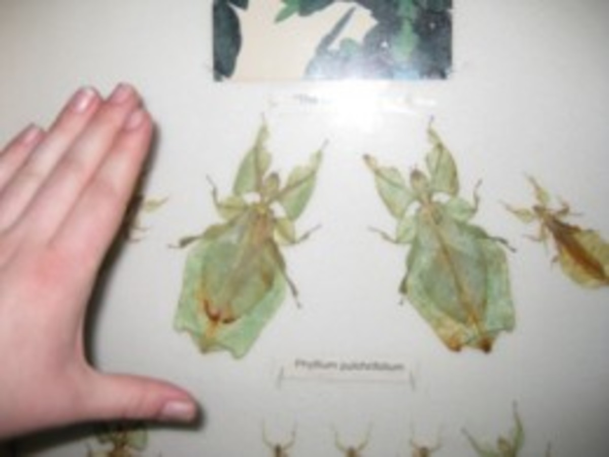 These large leaf insects are native to Malaysia.