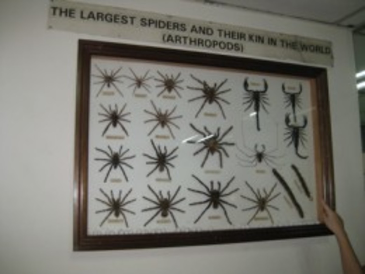 Large native spiders of Malaysia.