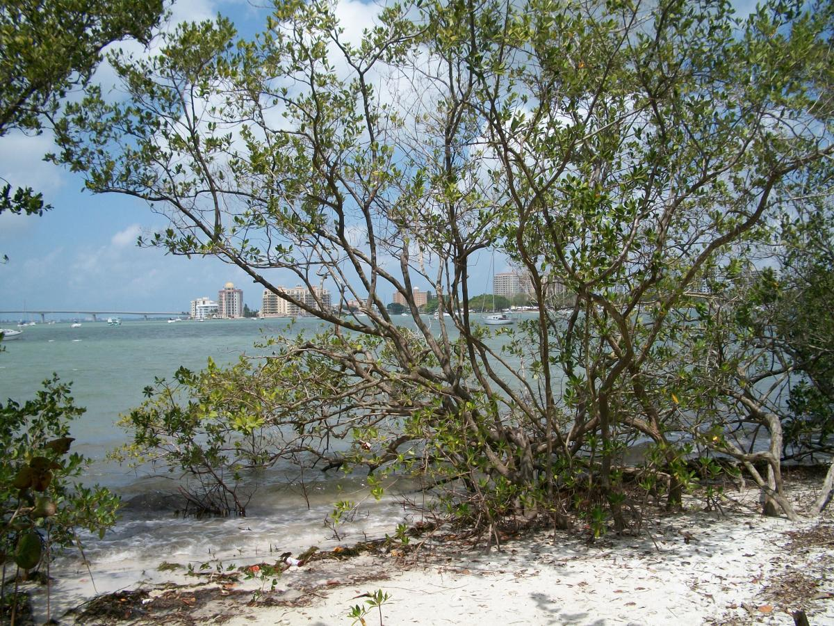 The mangroves preserving the shoreline of The Selby Gardens' property -- as this under-appreciated and overlooked shrub does for the entire state -- and a view of Sarasota Bay.