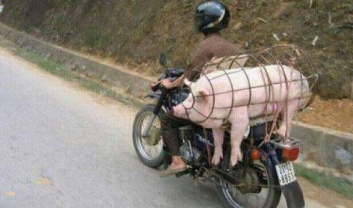No one to watch your pig while you go to work? Take him with you!
