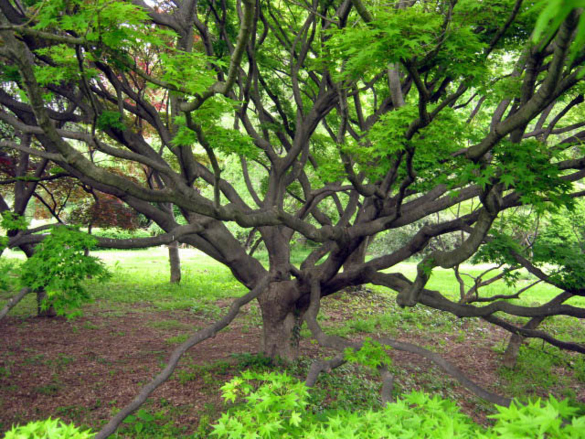 Japanese Maple at Cylburn Arboretum