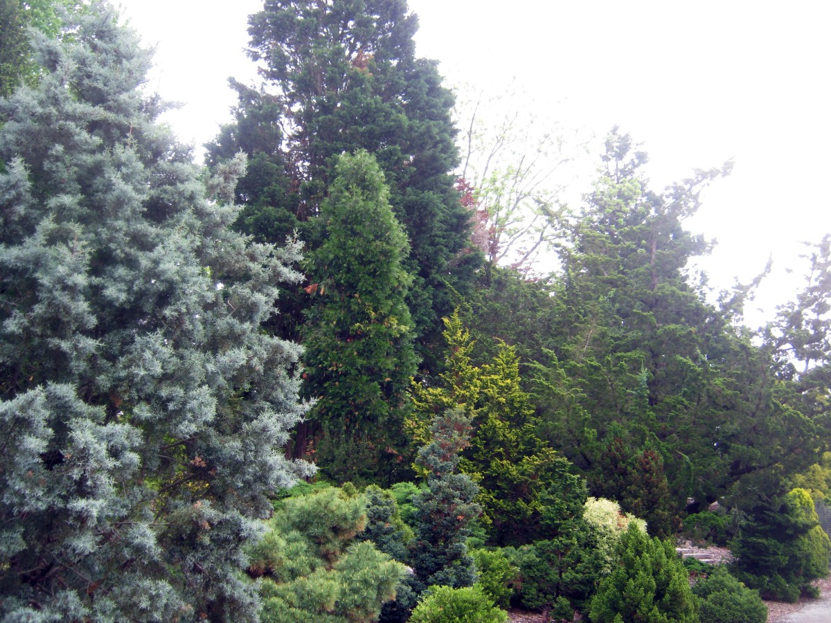 Cylburn Evergreens