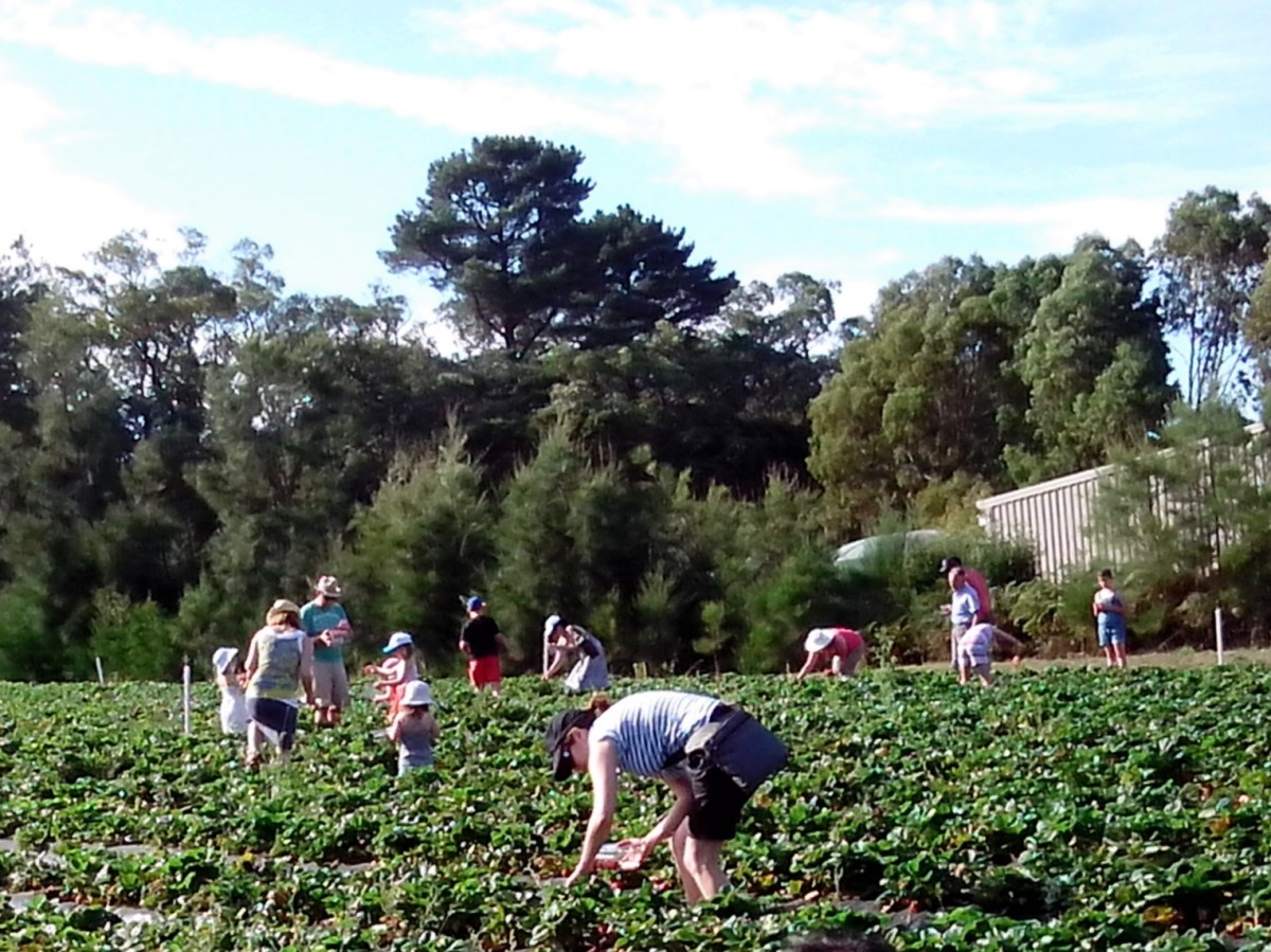 At a nearby strawberry farm during fruit picking season and open to the public.