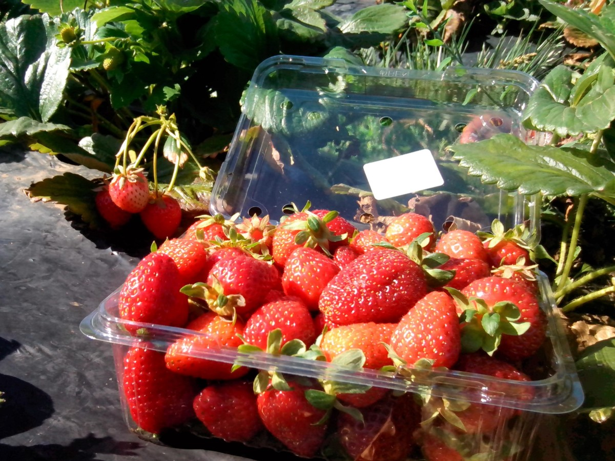 My hand-picked strawberries, can't get any fresher than these!
