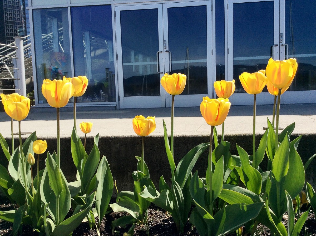 Yellow tulips outside the Coal Harbour Community Centre