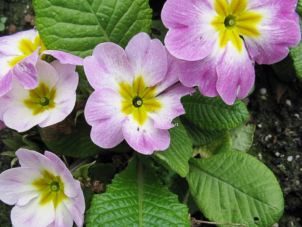 More primulas