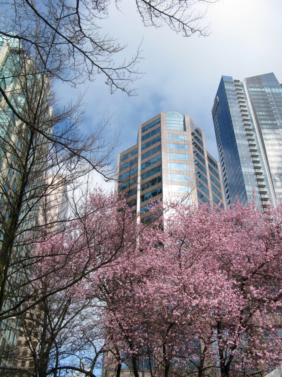 Cherry blossoms in downtown Vancouver