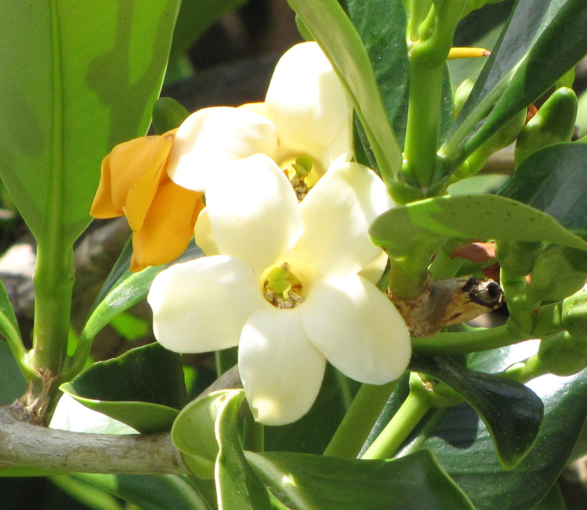 "Puakenikeni—a sweet-smelling flower—literally means ""ten-cent flower"" because they were once strung in leis selling for ten cents. If you've never smelled puakenikeni, you don't know what you're missing, but I do!"