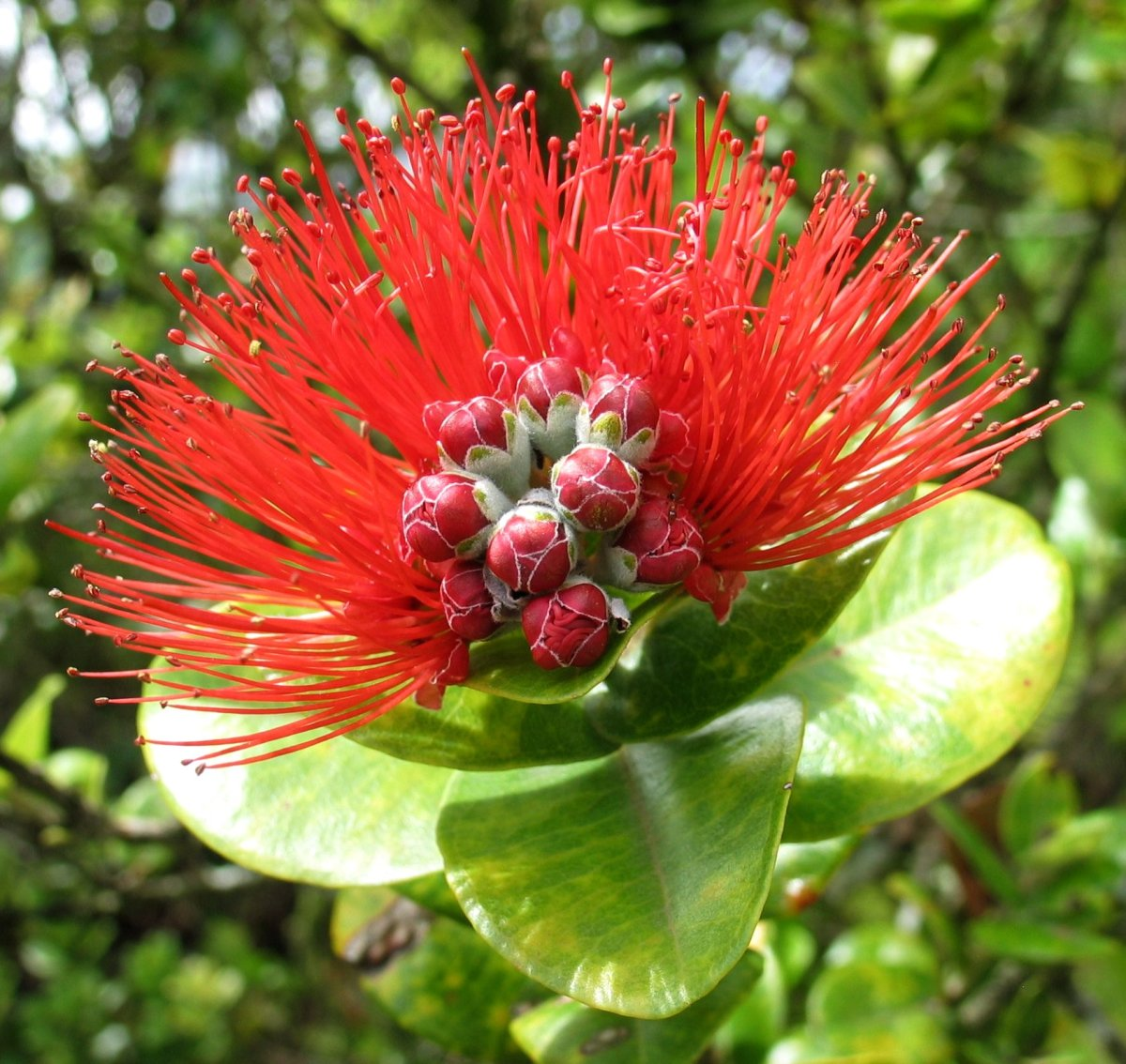 This is the ohi'a lehua flower that will be missing from the Merrie Monarch adornments  until the fungal disease affecting them has been extinguished.