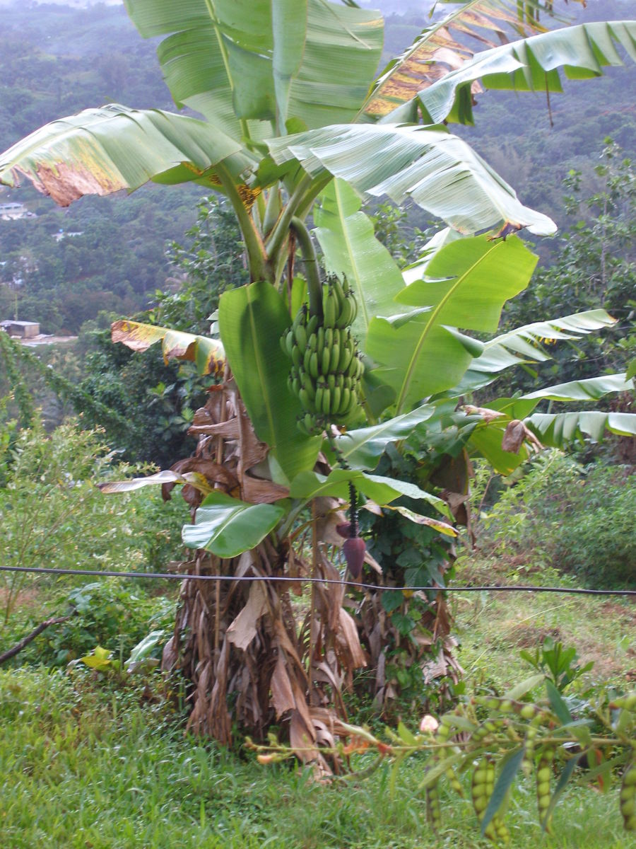 Banana tree in the backyard