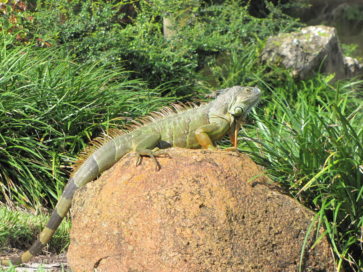A very large and colorful iguana