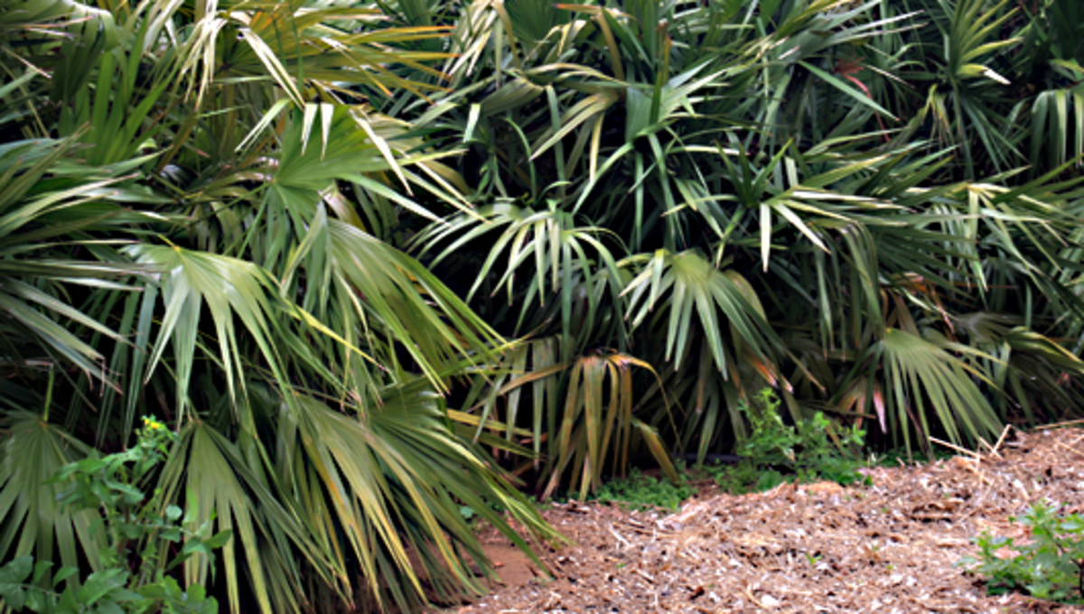 The Saw Palmeto - Serenoa repens - is a well known species of palm from the Southeastern United States of America.
