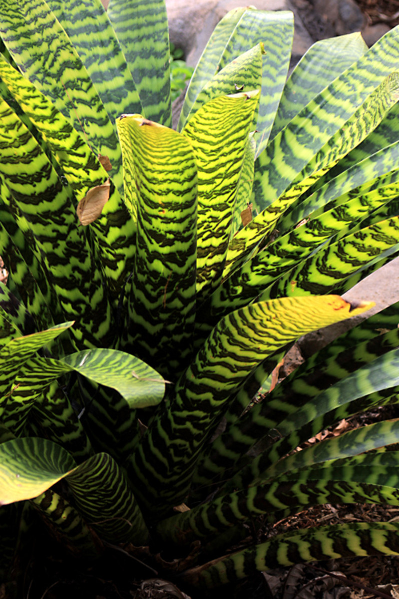 The attractive Vriesea hieroglyphica is a Bromeliad from Brazil
