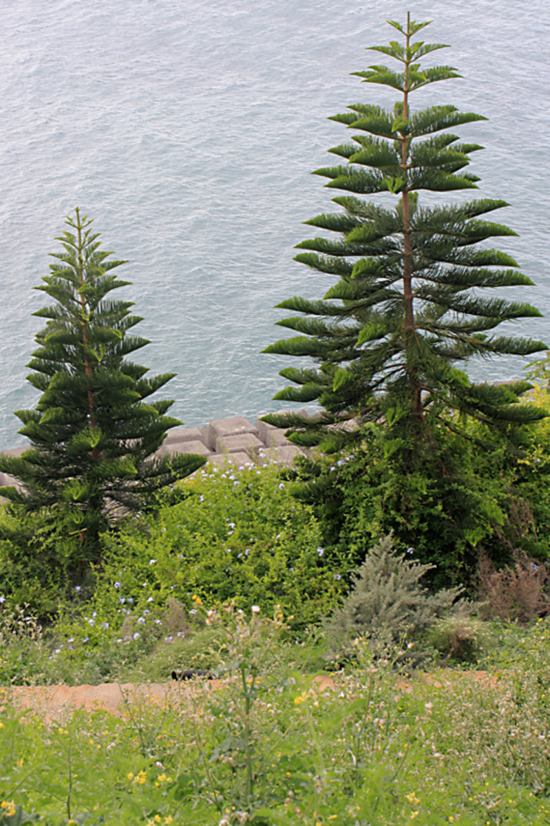 Araucaria trees in the New Caledonia section. The ocean lies beyond