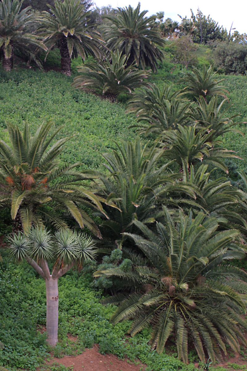 The slopes of El Lazareto have also seen intensive planting. Here Phoenix canariensis creates a natural look