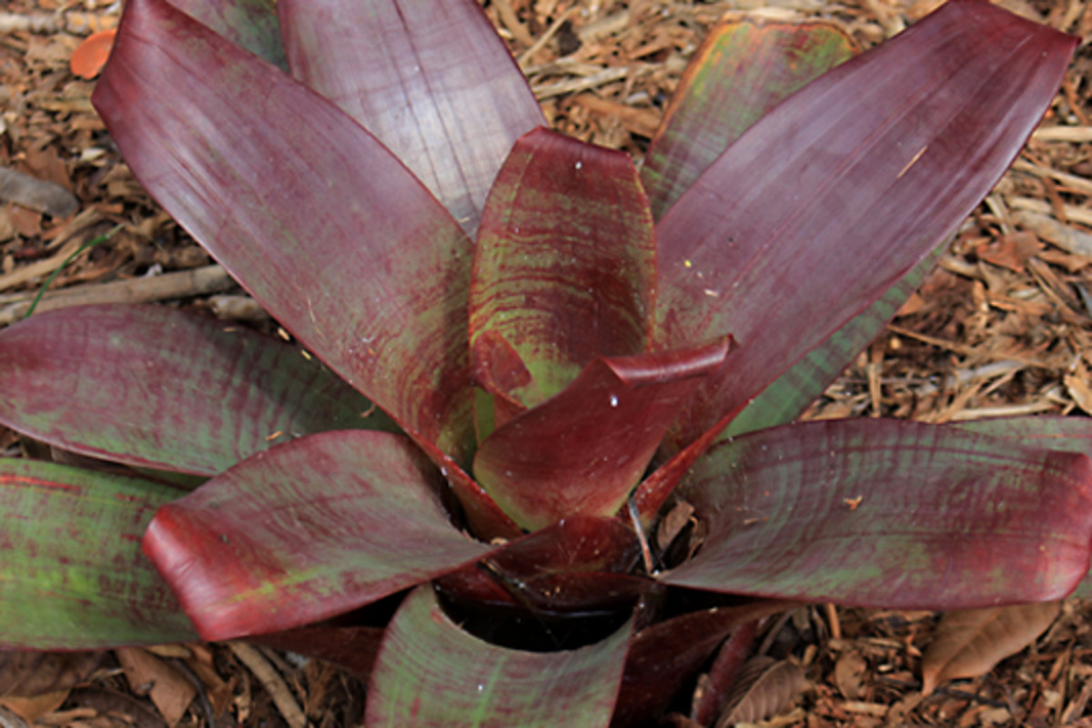 Vriesea imperialis - the 'Imperial Vriesea' from Brazil - is one of many Bromeliads which grow in the Octagon
