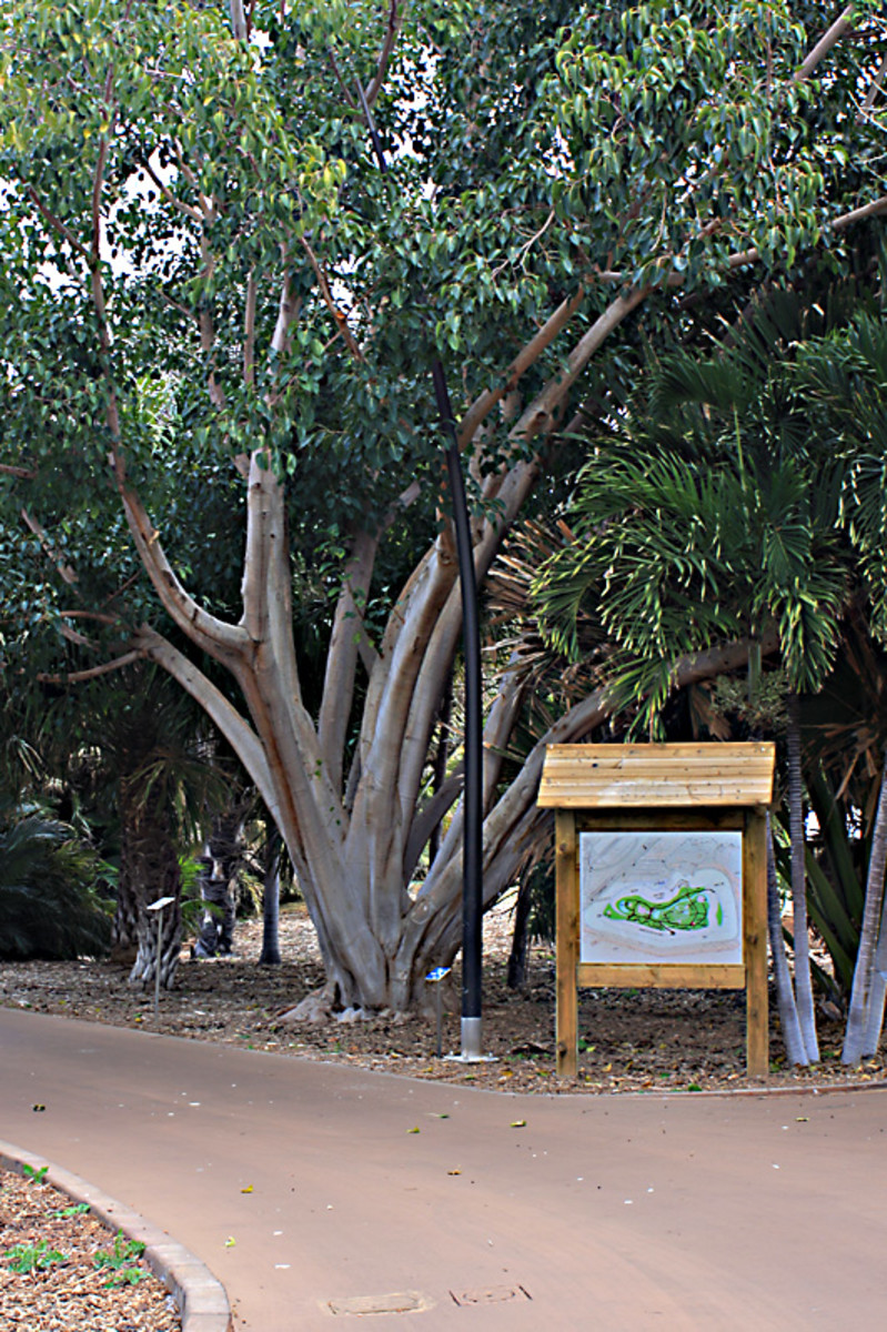 Ficus religiosa - The Sacred Fig - of Southern Asia on the intersection of two of the well maintained pathways. On the right is an informative map of the Palmetum