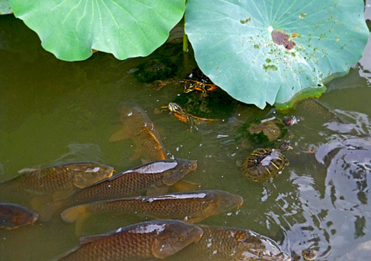 Carps and turtles in lotus pond