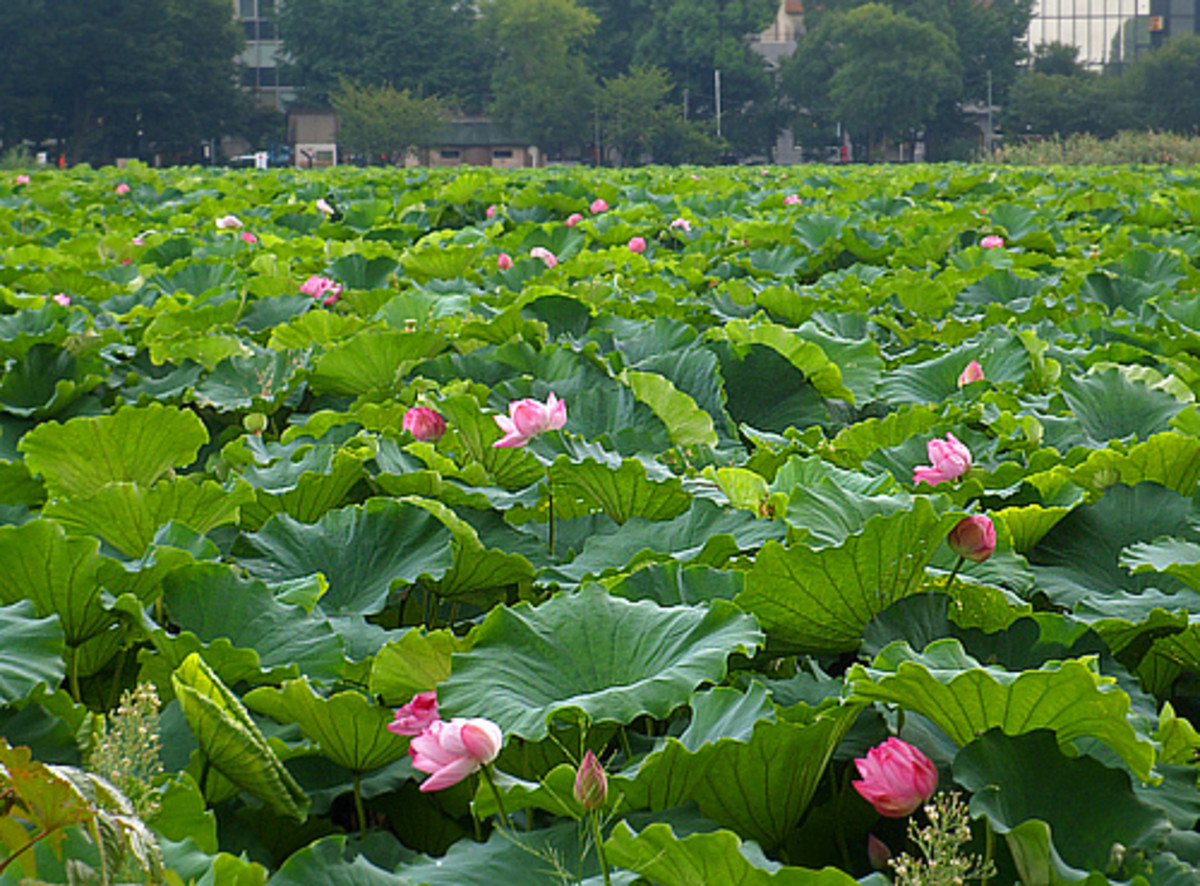 Lotus blossoms in Shinobazu Pond