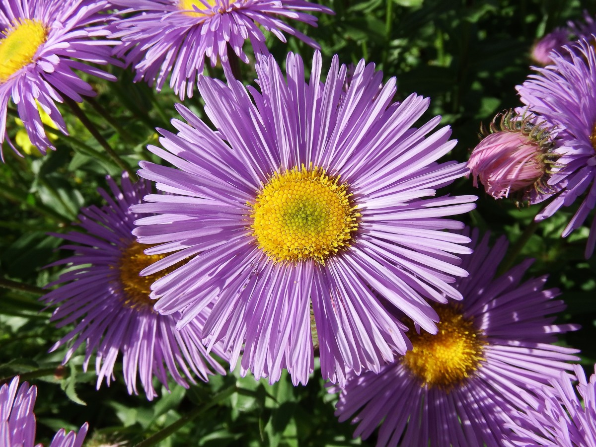 A close up view of an aster flower
