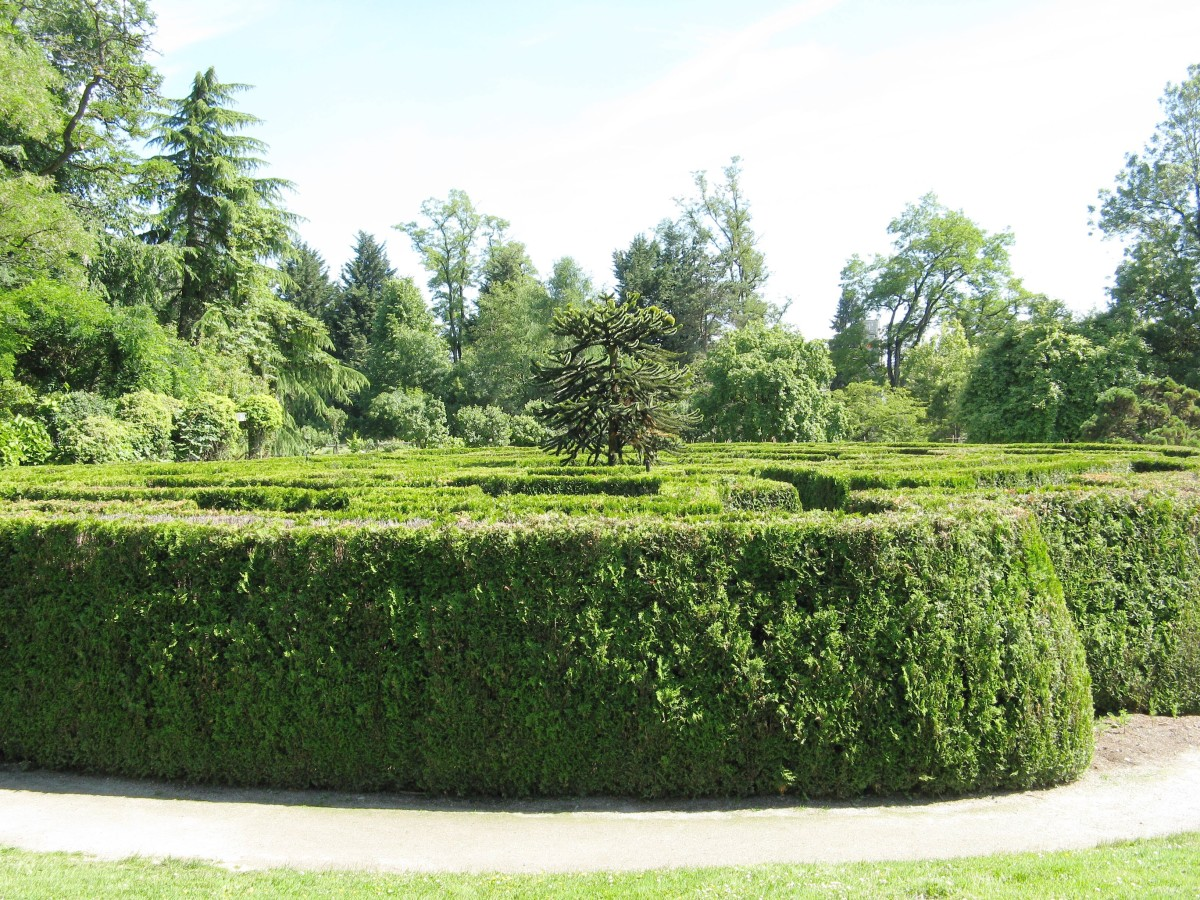 The maze and the monkey puzzle tree in the centre