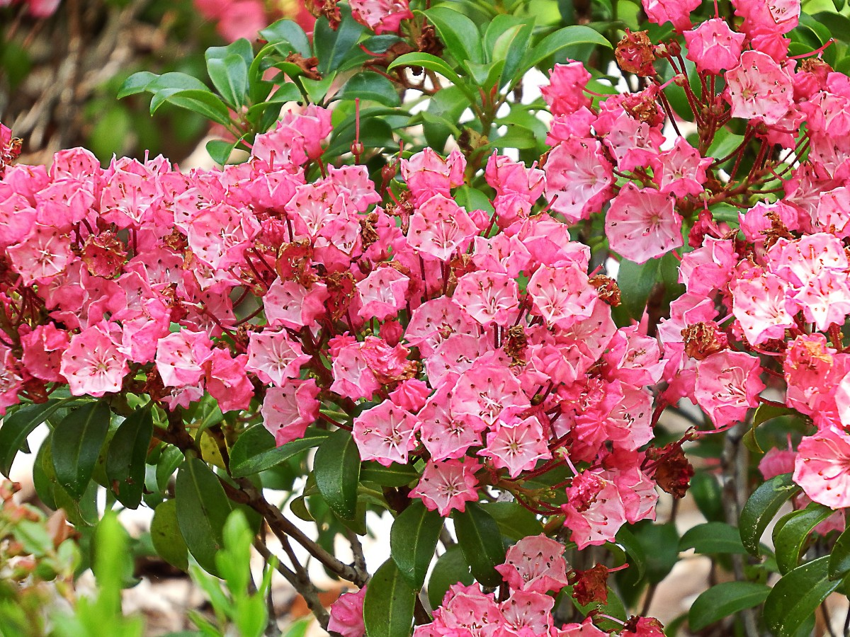 A beautiful mountain laurel, which belongs to the heath or heather family