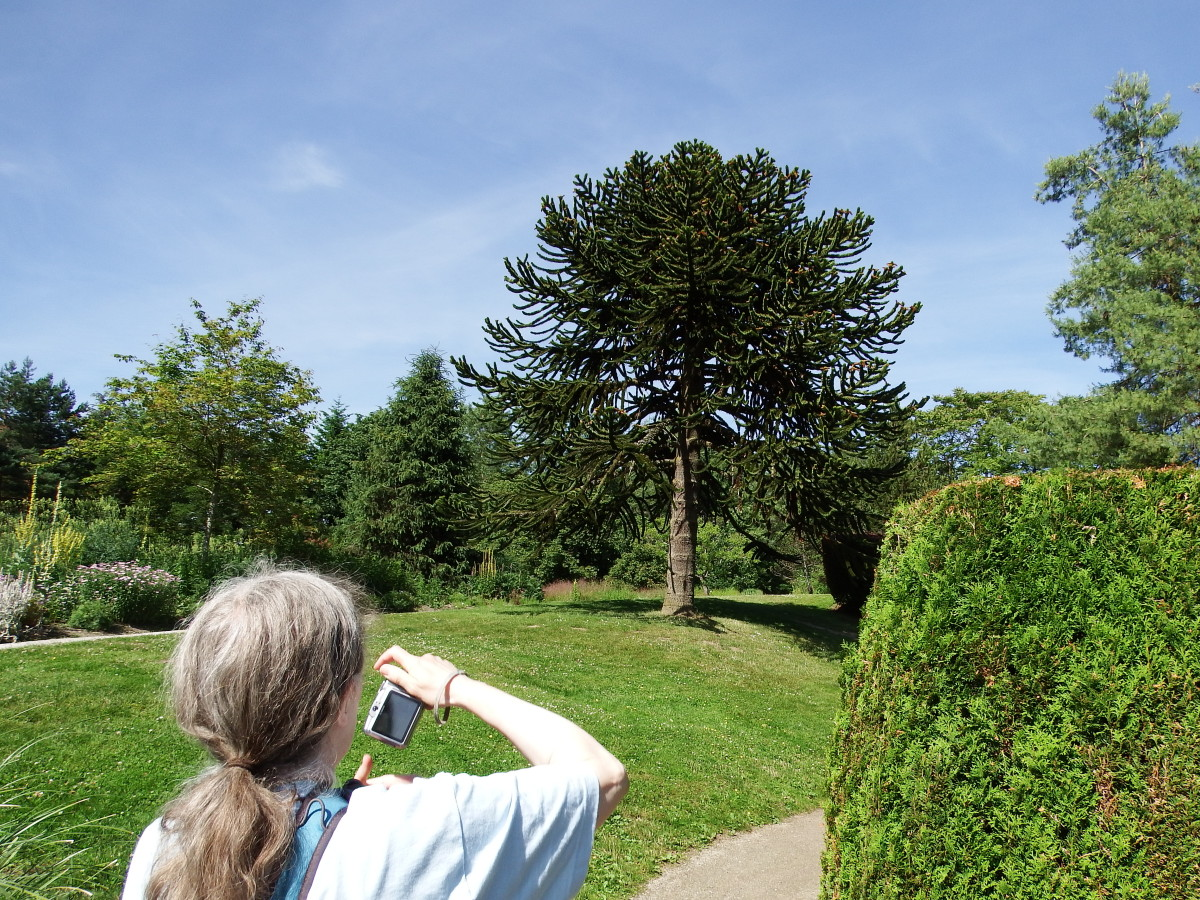 Photographing a monkey puzzle tree