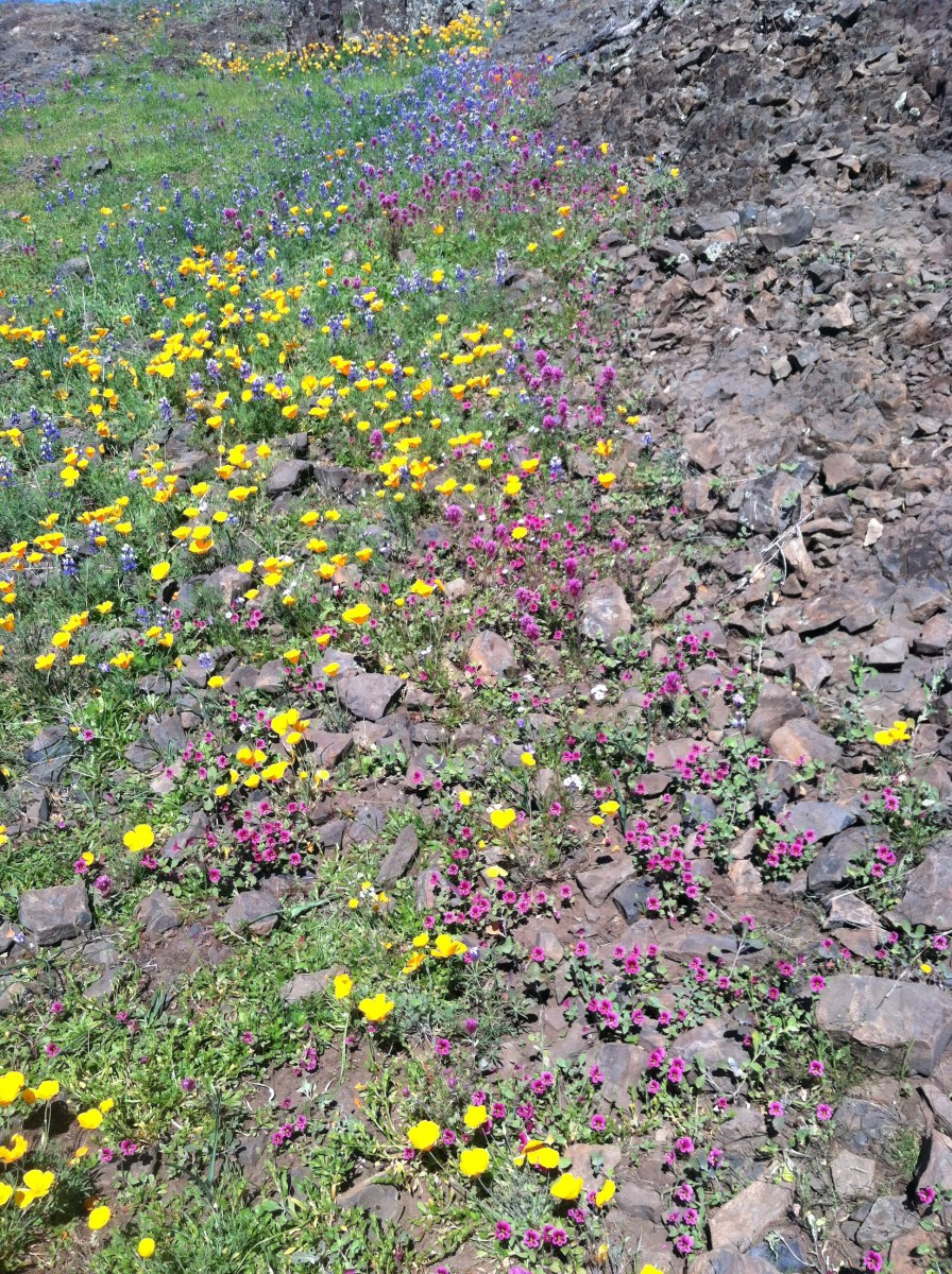 Notice how the monkeyflower blends quietly into the Purple Owls clover...