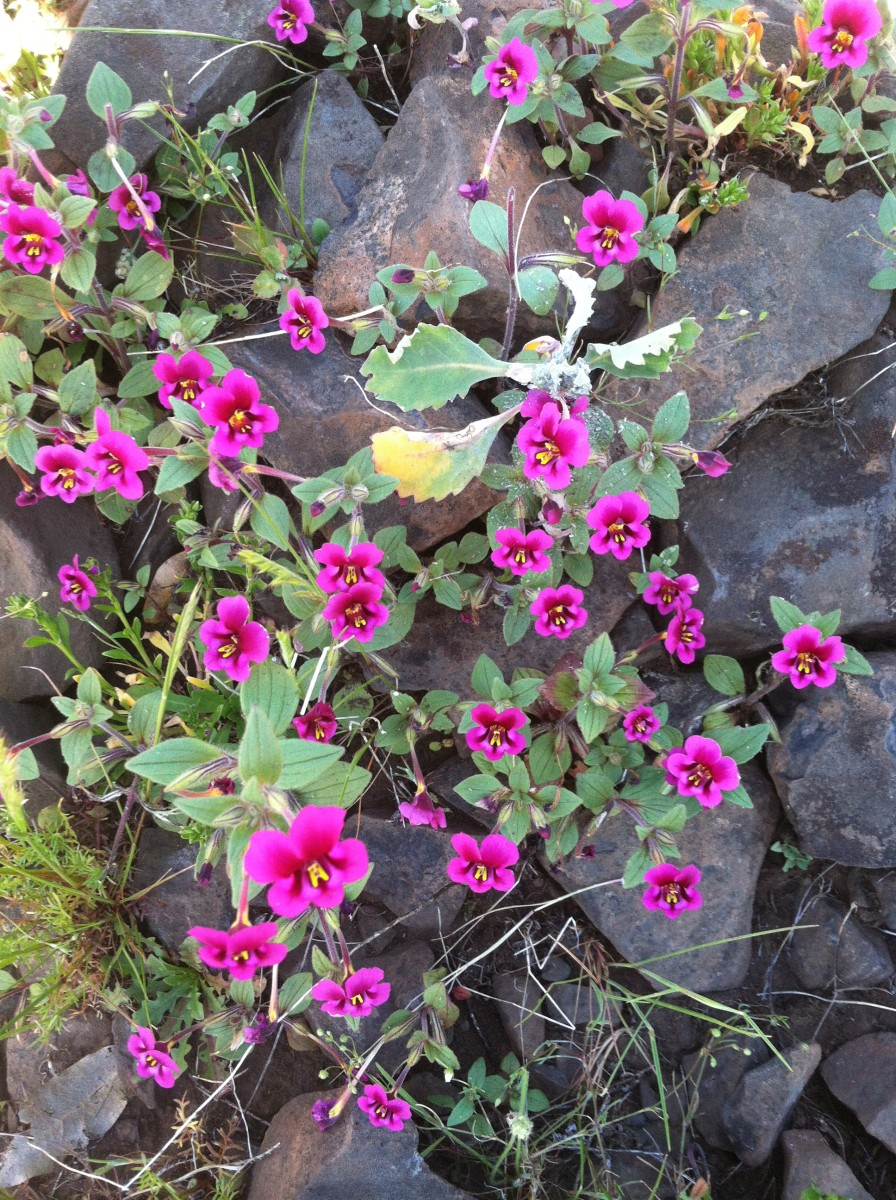 Mimulus kelloggi (Kellogg's monkeyflower) , from one of my favorite families of wildflowers.