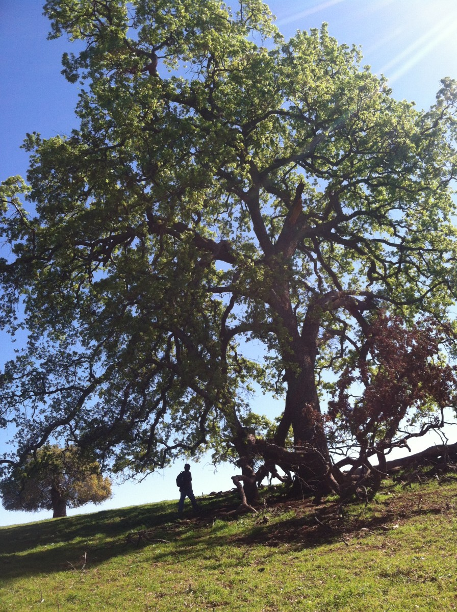 Notice the damage on this oak. Eventually those wounds will become crevices for owls, mammals, and other creatures such as bats.
