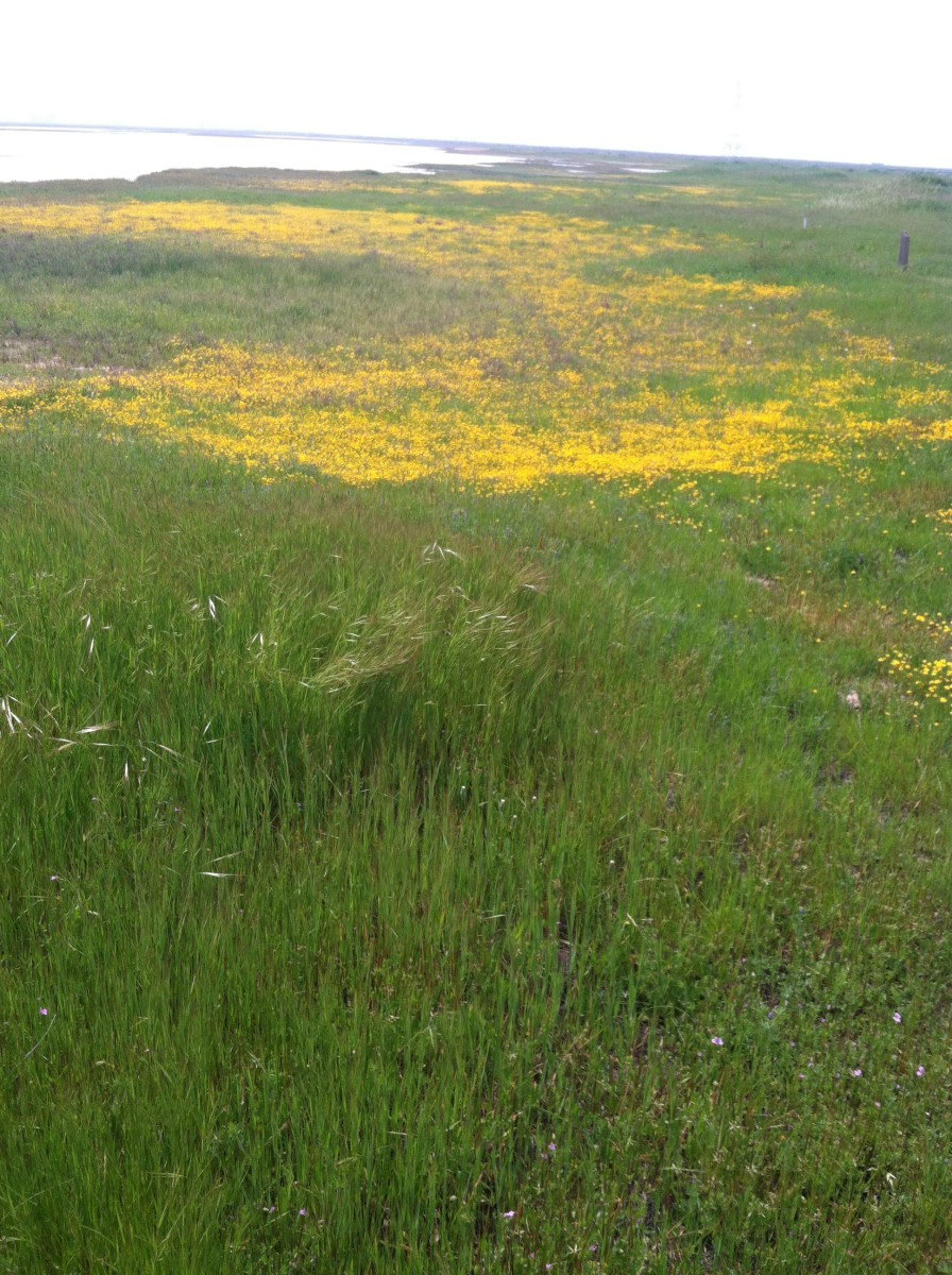 The blanket of yellow flowers is a vernal pool that is mostly dry. The lake-like area in the background is actually the remnant of a huge vernal pool. The large pool has receded here and exposed smaller pools.