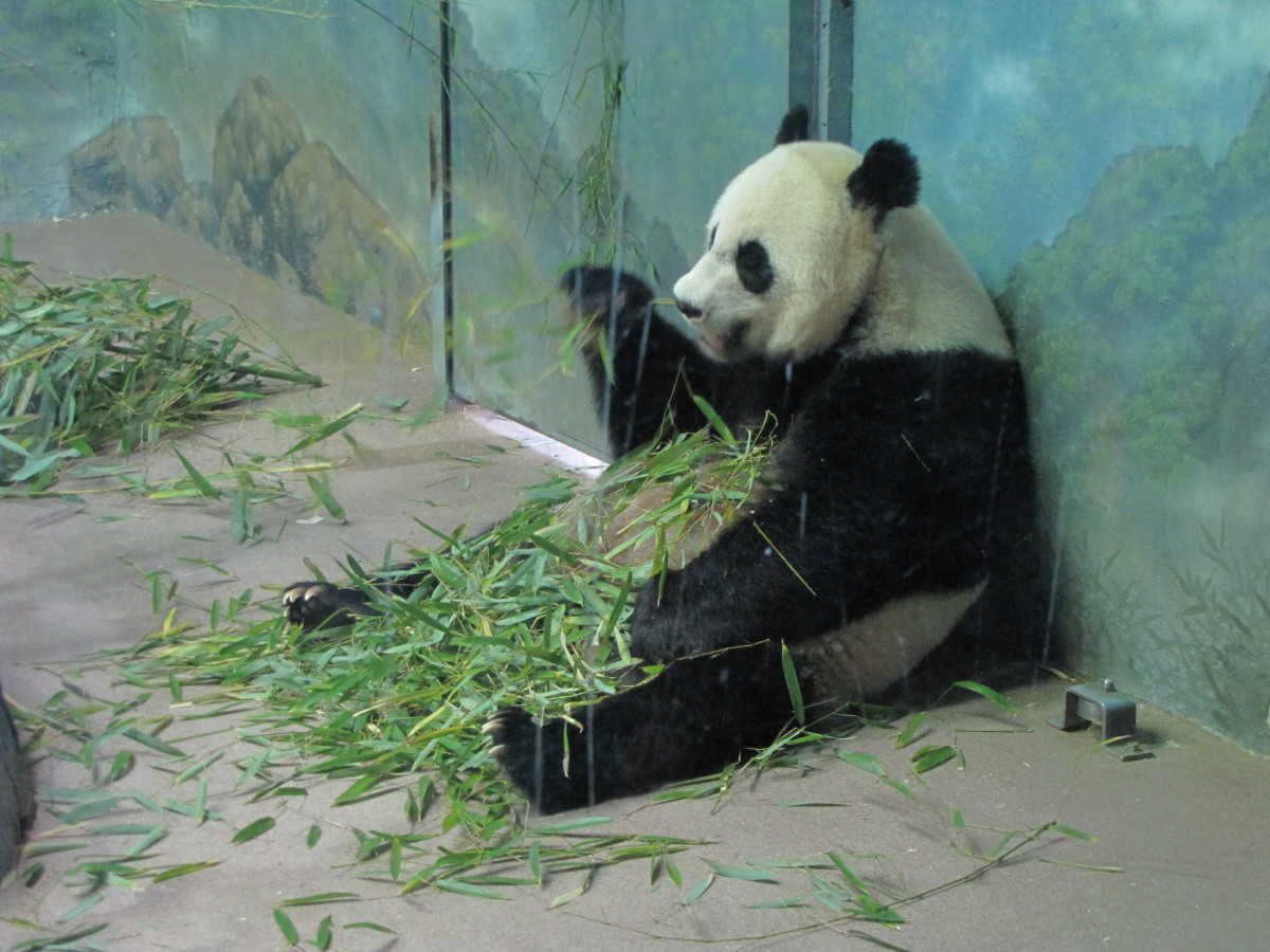 Mei Ziang, the female Panda at the National Zoo