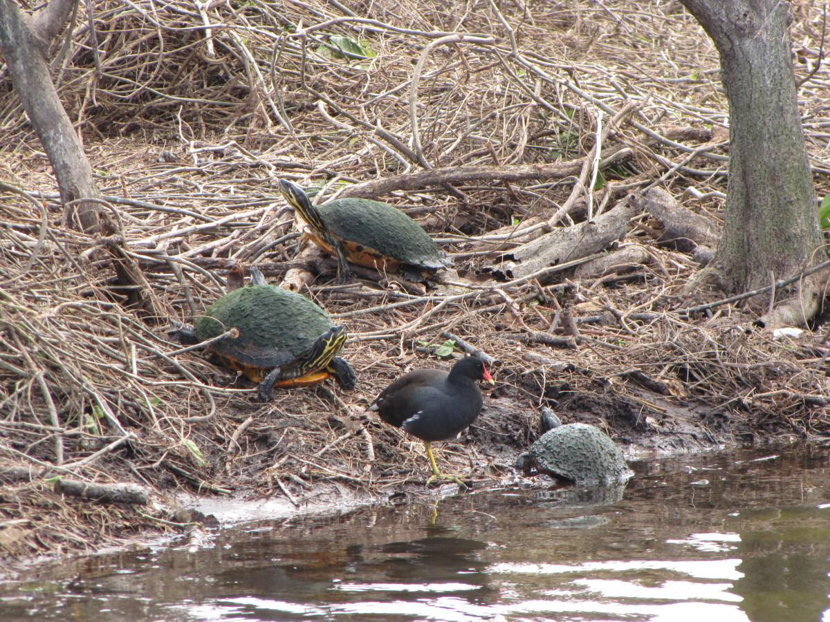 Common Moorhen and Florida Freshwater Turtles