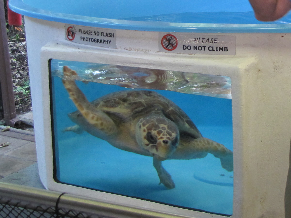 Phoenix the Loggerhead Turtle was released on June 12, 2014