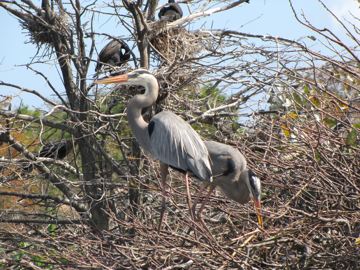 Great Blue Heron - Wakodahatchee Wetlands Center