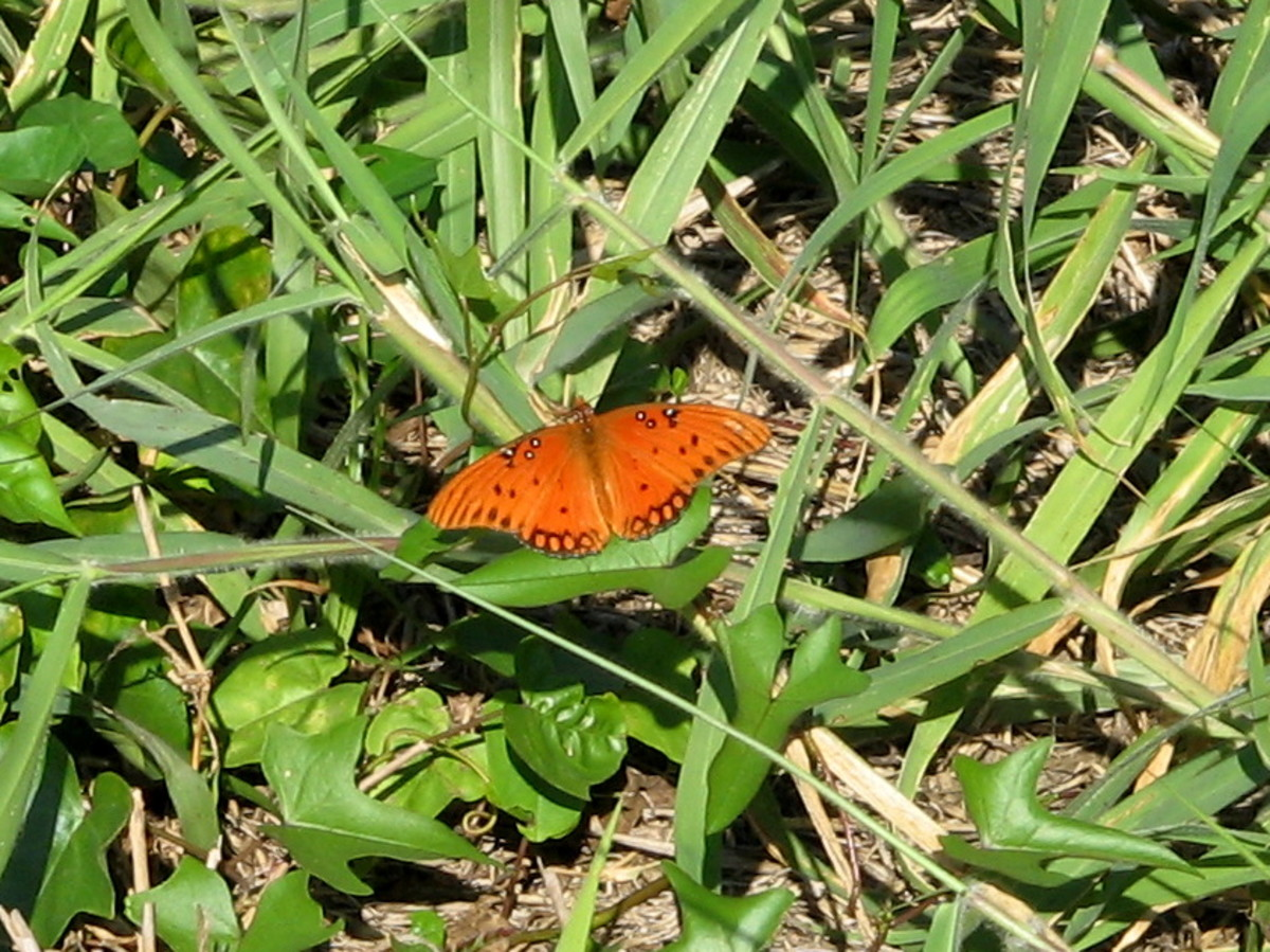 Loxahatchee Butterfly