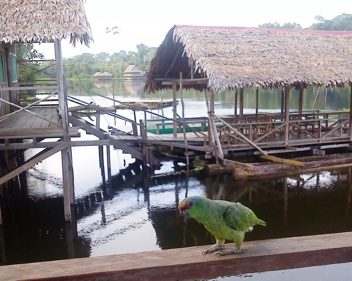 Marasha green parrot.