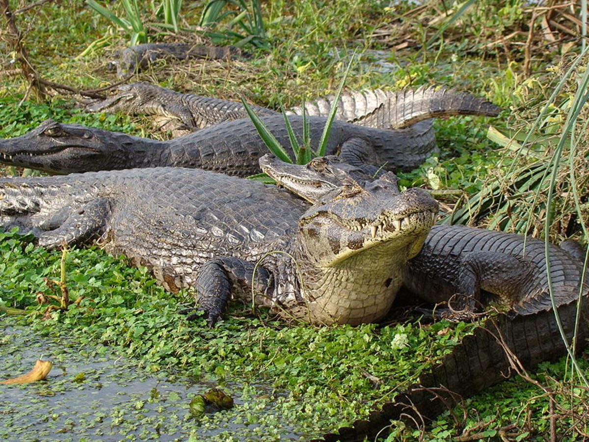 Caiman, quite common in the Amazon basin. We saw several during our 3 day tour.