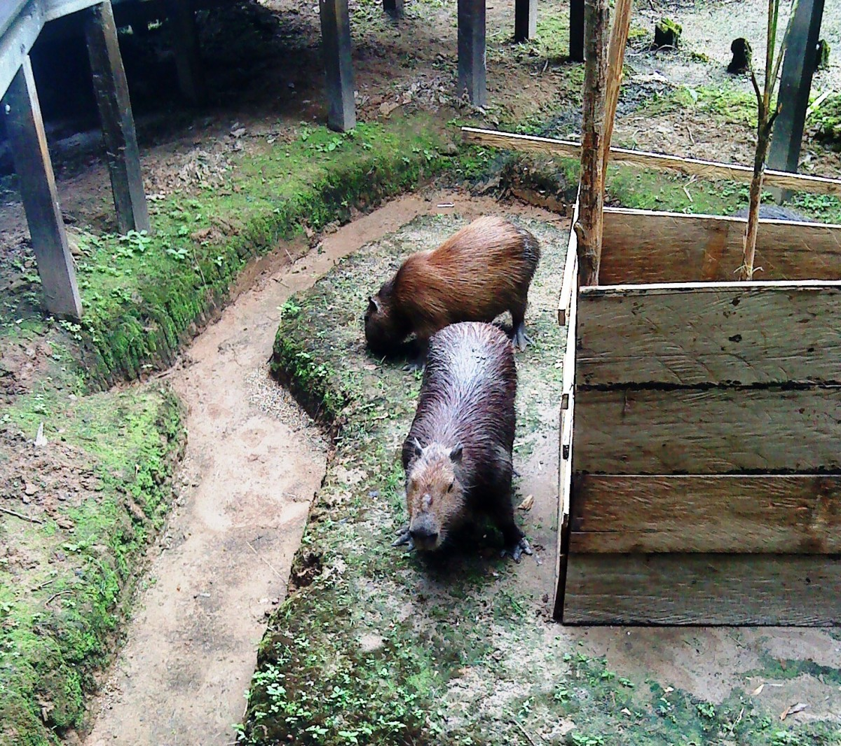 Capybara, the world's largest rodent.