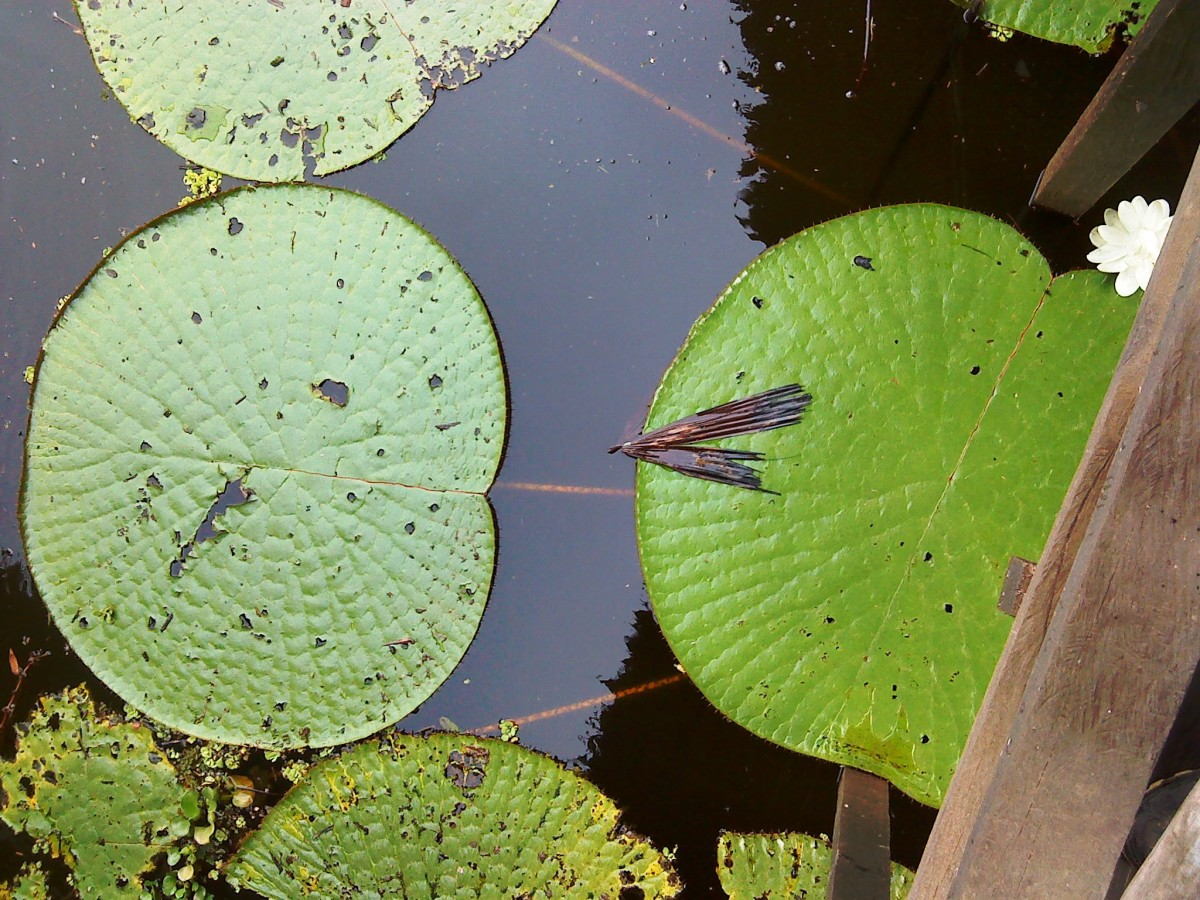 Giant Victoria amazonica water lily.