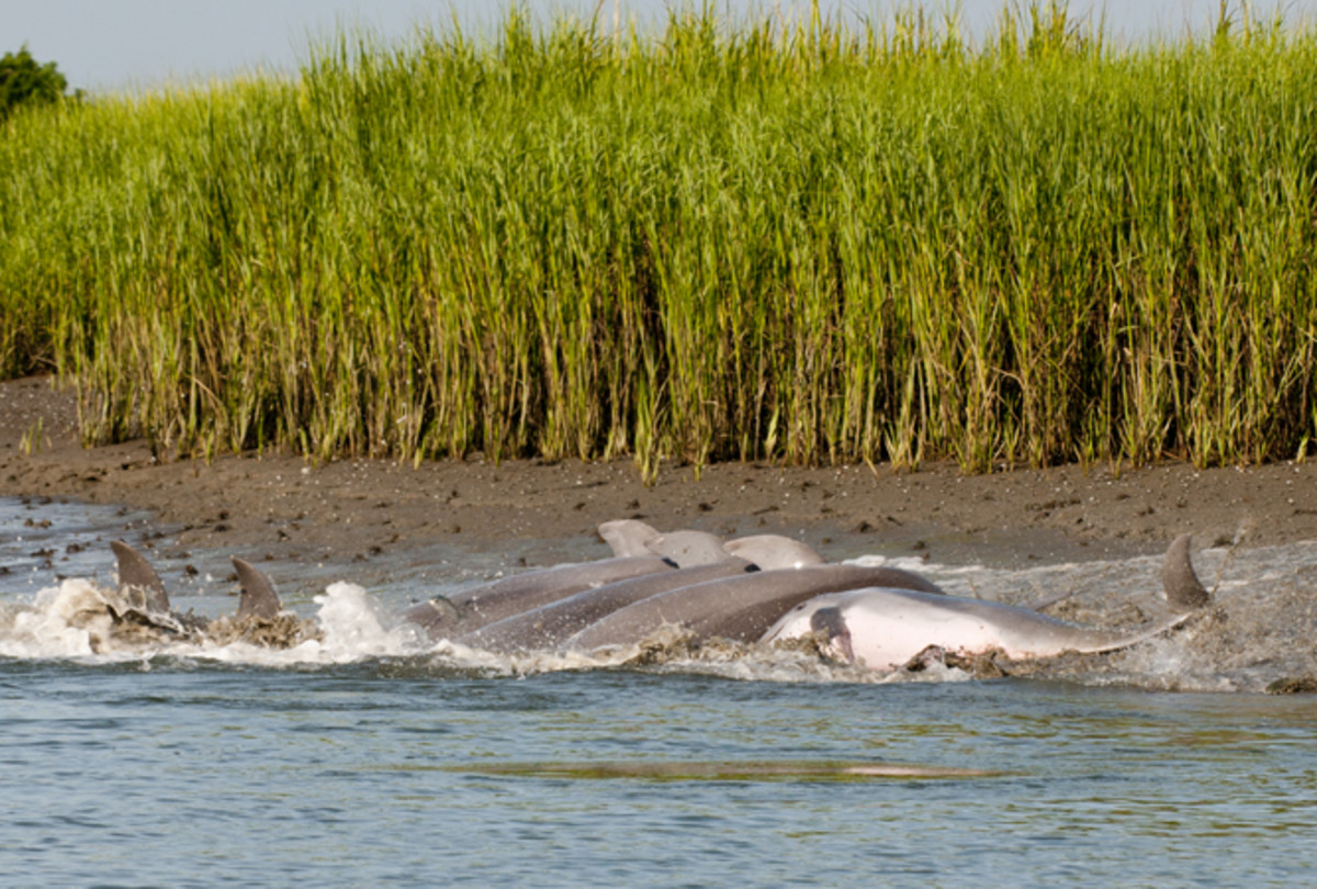 Bottlenose dolphns strand feeding on Kiawah Island.