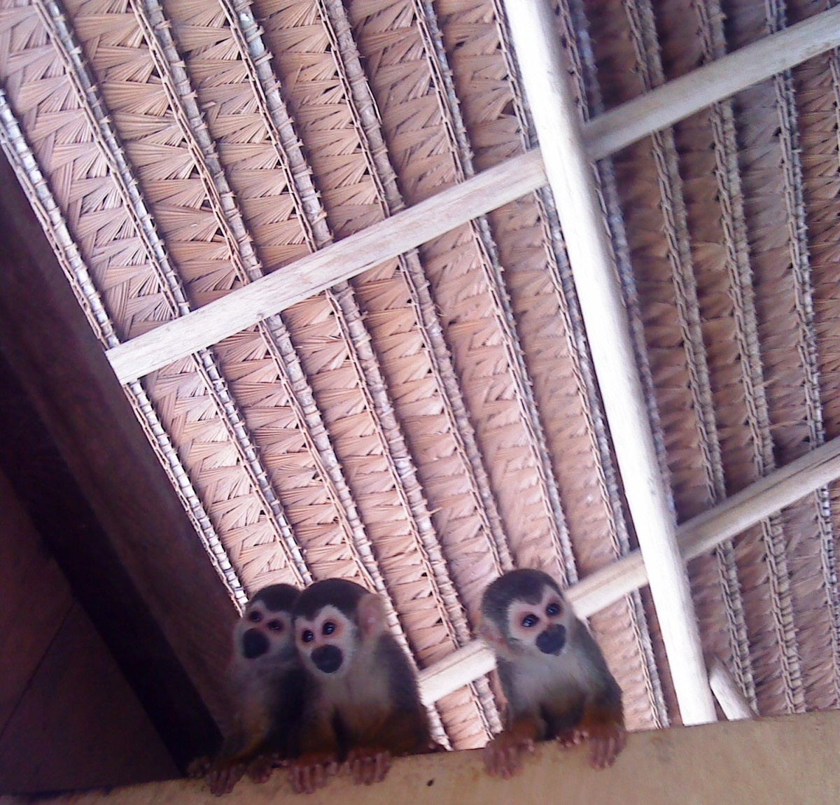 Three Amazon Monkeys Waiting for the Boat