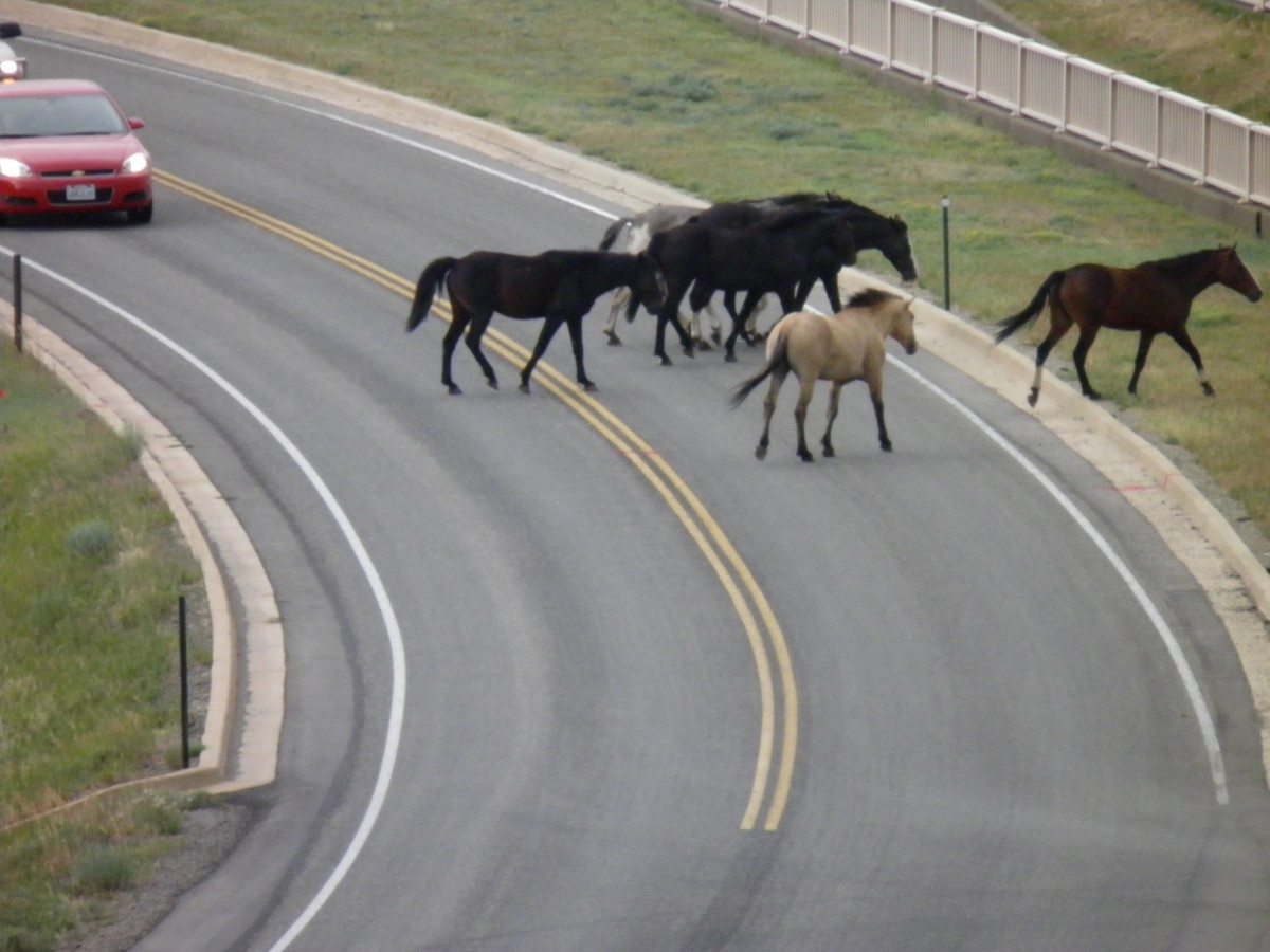 A heard of beautiful wild horses is crossing the road in Mesa Verde National Park.