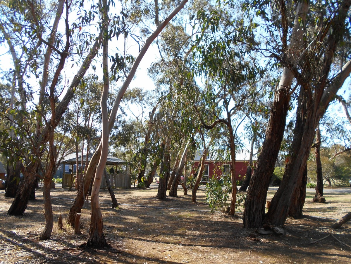 Some of the cottages amongst the gum trees.