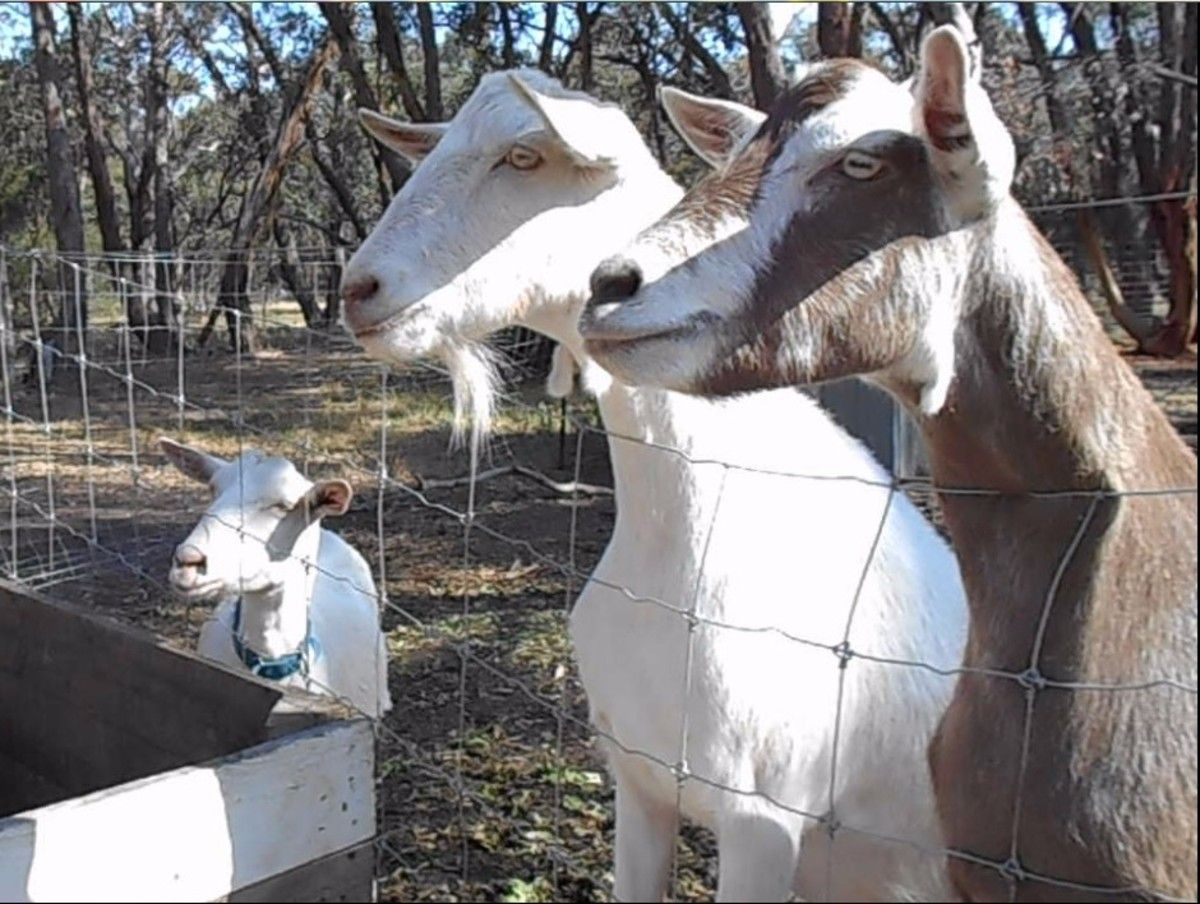 Friendly goats waiting patiently for their snacks.